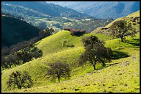 Oaks on green hills. Livermore, California, USA ( color)