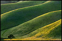 Oak and ridges, late afternoon, Del Valle Regional Park. Livermore, California, USA ( color)