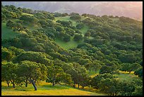 Oak trees in spring on hillside, Del Valle Regional Park. Livermore, California, USA ( color)
