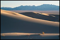 Bush and ridges, Cadiz Sand Dunes. Mojave Trails National Monument, California, USA ( )