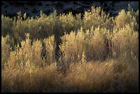 Backlit river vegetation, Afton Canyon. Mojave Trails National Monument, California, USA ( color)