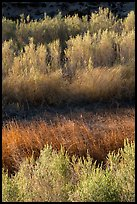 Willows along Mojave River, Afton Canyon. Mojave Trails National Monument, California, USA ( color)