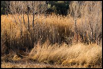 Willows in winter, Afton Canyon. Mojave Trails National Monument, California, USA ( color)