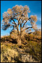 Fremont Cottonwood with bare branches, Mission Creek Preserve. Sand to Snow National Monument, California, USA ( color)