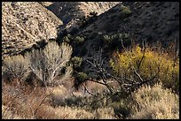 Trees in winter and foothills, Big Morongo Canyon Preserve. Sand to Snow National Monument, California, USA ( color)