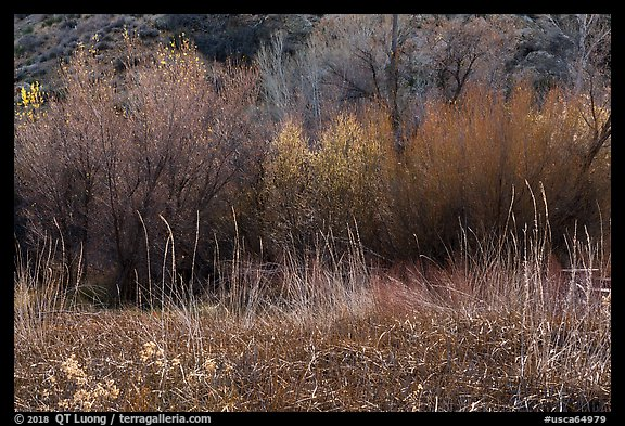 Thickets of cattails and backlit trees, Big Morongo Canyon Preserve. Sand to Snow National Monument, California, USA (color)