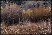Thickets of cattails and backlit trees, Big Morongo Canyon Preserve. Sand to Snow National Monument, California, USA ( color)