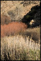 Riparian vegetation in winter, Big Morongo Canyon Preserve. Sand to Snow National Monument, California, USA ( color)