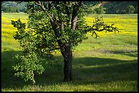 Oak and wildflower covered meadow, Knoxville Wildlife Area. Berryessa Snow Mountain National Monument, California, USA ( )