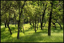 Oaks and grasses in spring, Knoxville Wildlife Area. Berryessa Snow Mountain National Monument, California, USA ( )