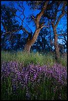 Lupine and oaks at night, Cache Creek Wilderness. Berryessa Snow Mountain National Monument, California, USA ( )
