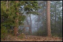 Pine trees and fog. Berryessa Snow Mountain National Monument, California, USA ( )