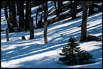 Shadows in snowy forest, Snow Mountain Wilderness. Berryessa Snow Mountain National Monument, California, USA ( )