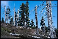 Silvery grove of recently fire-killed firs, Snow Mountain Wilderness. Berryessa Snow Mountain National Monument, California, USA ( )