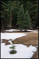 Fir sappling surrouned by snow patch, Snow Mountain Wilderness. Berryessa Snow Mountain National Monument, California, USA ( )