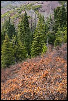 Greens of firs contrast with shurbs on slope, Snow Mountain. Berryessa Snow Mountain National Monument, California, USA ( )