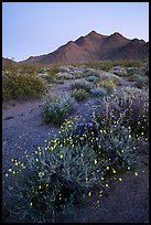 Annual desert wildflowers at dusk. Mojave Trails National Monument, California, USA ( )
