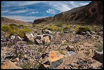 Desert wildflowers on Afton Canyon floor. Mojave Trails National Monument, California, USA ( )