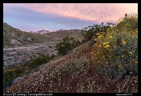 Wildflowers at sunrise with distant snowy San Giorgono Mountain. Sand to Snow National Monument, California, USA (color)