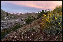 Wildflowers at sunrise with distant snowy San Giorgono Mountain. Sand to Snow National Monument, California, USA ( color)