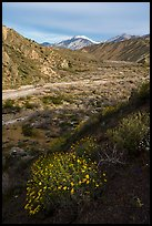 Wildflowers and San Giorgono Mountain, Mission Creek Preserve. Sand to Snow National Monument, California, USA ( color)