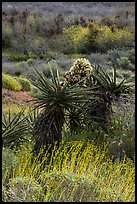 Yucca in bloom, Mission Creek. Sand to Snow National Monument, California, USA ( color)