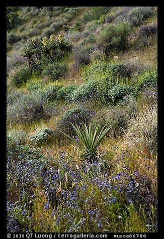 Yucca and wildflowers in bloom, Mission Creek. Sand to Snow National Monument, California, USA (color)