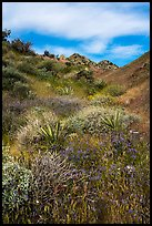 Desert in bloom, Mission Creek. Sand to Snow National Monument, California, USA ( color)