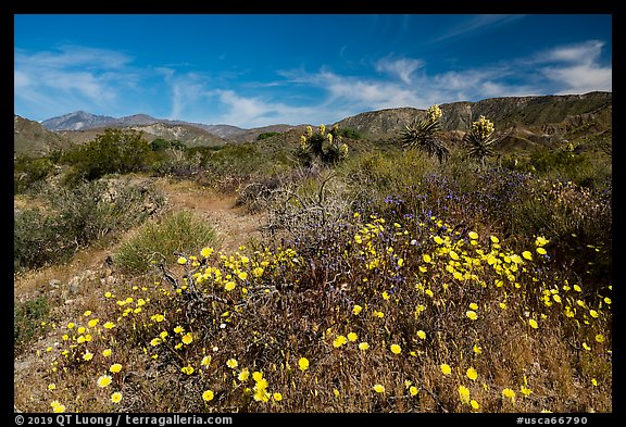 Wildflowers and yuccas on desert floor. Sand to Snow National Monument, California, USA (color)