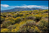 Brittlebush in bloom and San Jacinto Mountains. Sand to Snow National Monument, California, USA ( color)