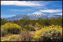 Blooming Brittlebush and snowy San Jacinto Peak. Sand to Snow National Monument, California, USA ( color)