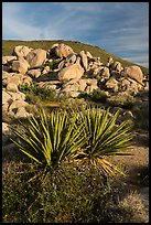 Yucca and boulders, Flat Top Butte. Sand to Snow National Monument, California, USA ( color)