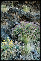 Wildflowers and lava, Fleener Chimneys. Lava Beds National Monument, California, USA ( color)