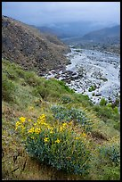 Brittlebush and Whitewater River valley. Sand to Snow National Monument, California, USA ( color)