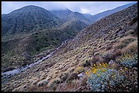 Brittlebush and cloud-capped San Bernardino Mountains. Sand to Snow National Monument, California, USA ( color)