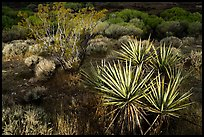 Yucca and wetlands, Big Morongo Preserve. Sand to Snow National Monument, California, USA ( color)