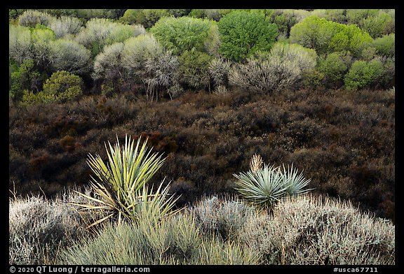 Yuccas, marsh area, and trees, Big Morongo Preserve. Sand to Snow National Monument, California, USA (color)