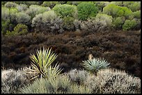 Yuccas, marsh area, and trees, Big Morongo Preserve. Sand to Snow National Monument, California, USA ( color)