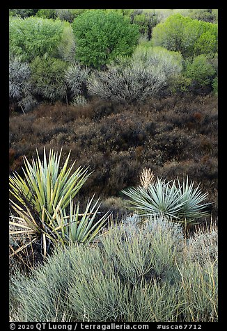 Yuccas, marsh, and trees with new leaves, Big Morongo Preserve. Sand to Snow National Monument, California, USA (color)