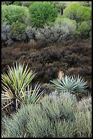 Yuccas, marsh, and trees with new leaves, Big Morongo Preserve. Sand to Snow National Monument, California, USA ( color)