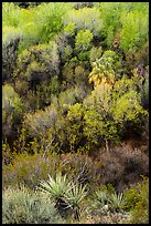 Yuccas and woodlands in the spring from above, Big Morongo Preserve. Sand to Snow National Monument, California, USA ( color)