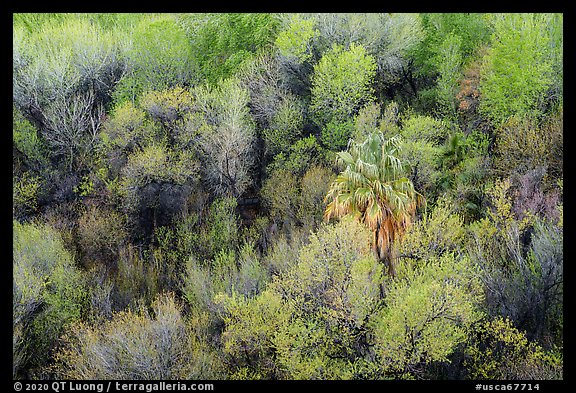Oasis with palm tree from above, Big Morongo Preserve. Sand to Snow National Monument, California, USA (color)