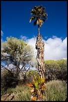Slender native California palm tree, Big Morongo Preserve. Sand to Snow National Monument, California, USA ( color)