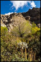 Lush springtime vegetation below cliffs, Whitewater Preserve. Sand to Snow National Monument, California, USA ( color)