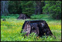 Burned sequoia stump in meadow with wildflowers, Indian Basin. Giant Sequoia National Monument, Sequoia National Forest, California, USA ( )
