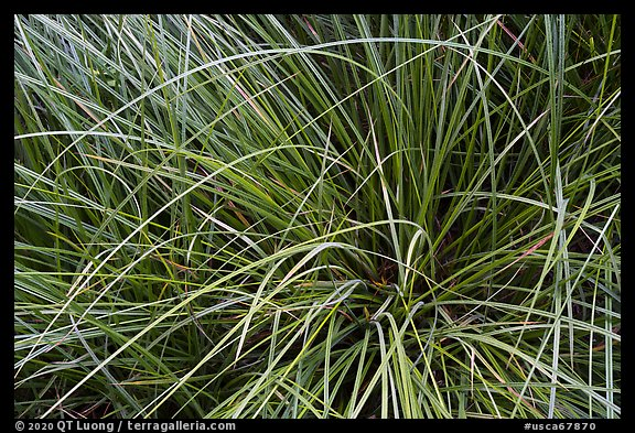 Close-up of sedges, Indian Basin. Giant Sequoia National Monument, Sequoia National Forest, California, USA (color)