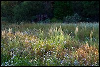 Wildflowers and grasses in meadow at edge of forest, Indian Basin. Giant Sequoia National Monument, Sequoia National Forest, California, USA ( color)