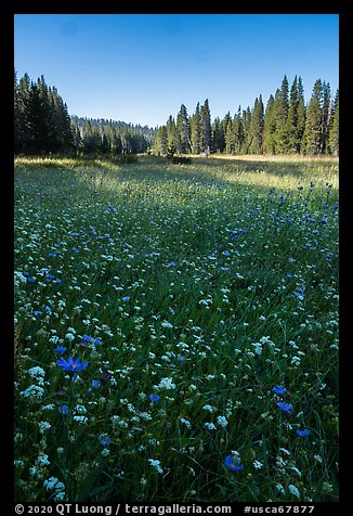 Wildflowers and Big Meadows. Giant Sequoia National Monument, Sequoia National Forest, California, USA (color)