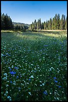 Wildflowers and Big Meadows. Giant Sequoia National Monument, Sequoia National Forest, California, USA ( )