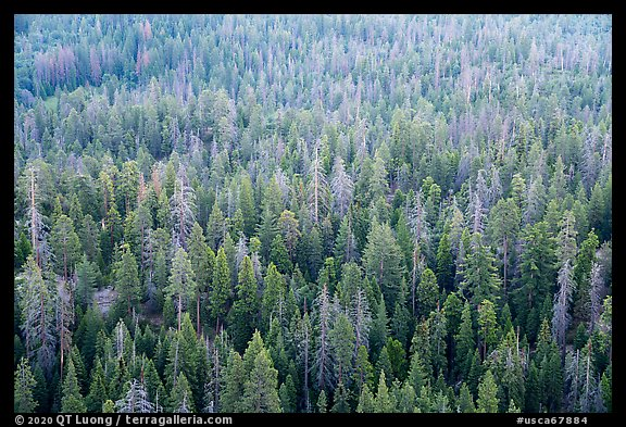 Forest tree tops from Dome Rock. Giant Sequoia National Monument, Sequoia National Forest, California, USA (color)